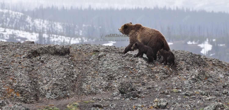 Ayılar yavrularıyla gezerken çok agresif ve saldırgan olabilir.
